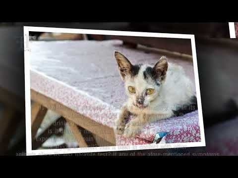 Coccidia In Cats And Kittens What Is It, Symptoms