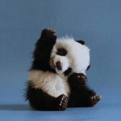 Baby panda waves 'Good Morning' to you!