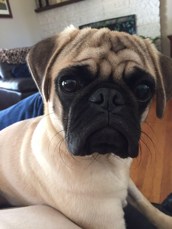 Pinterest Softibee Good Boyes Pugs Dogs Animals