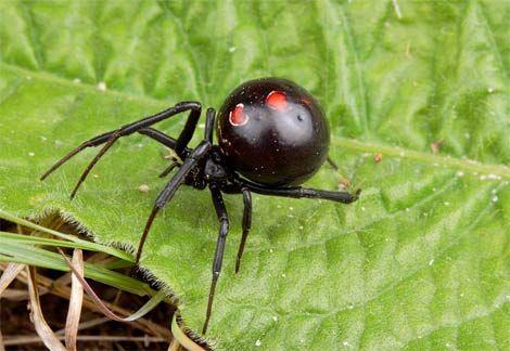 Black Widow Scientific Name Latrodectus Sp