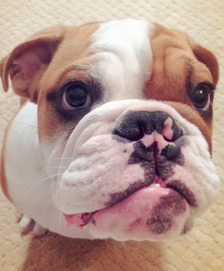 Buster English Bulldog From Richardson Tx Fine Whine Almost