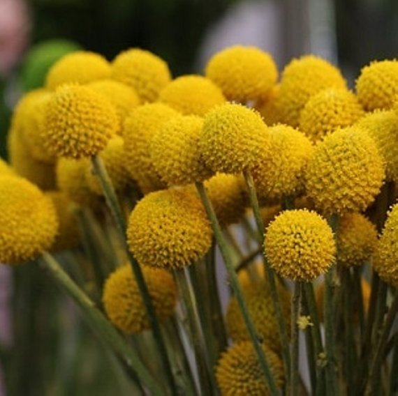 Billy Buttons 10 Seeds Craspedia Globosa Woollyheads Etsy Flower Seeds Pollinator Garden Billy Buttons
