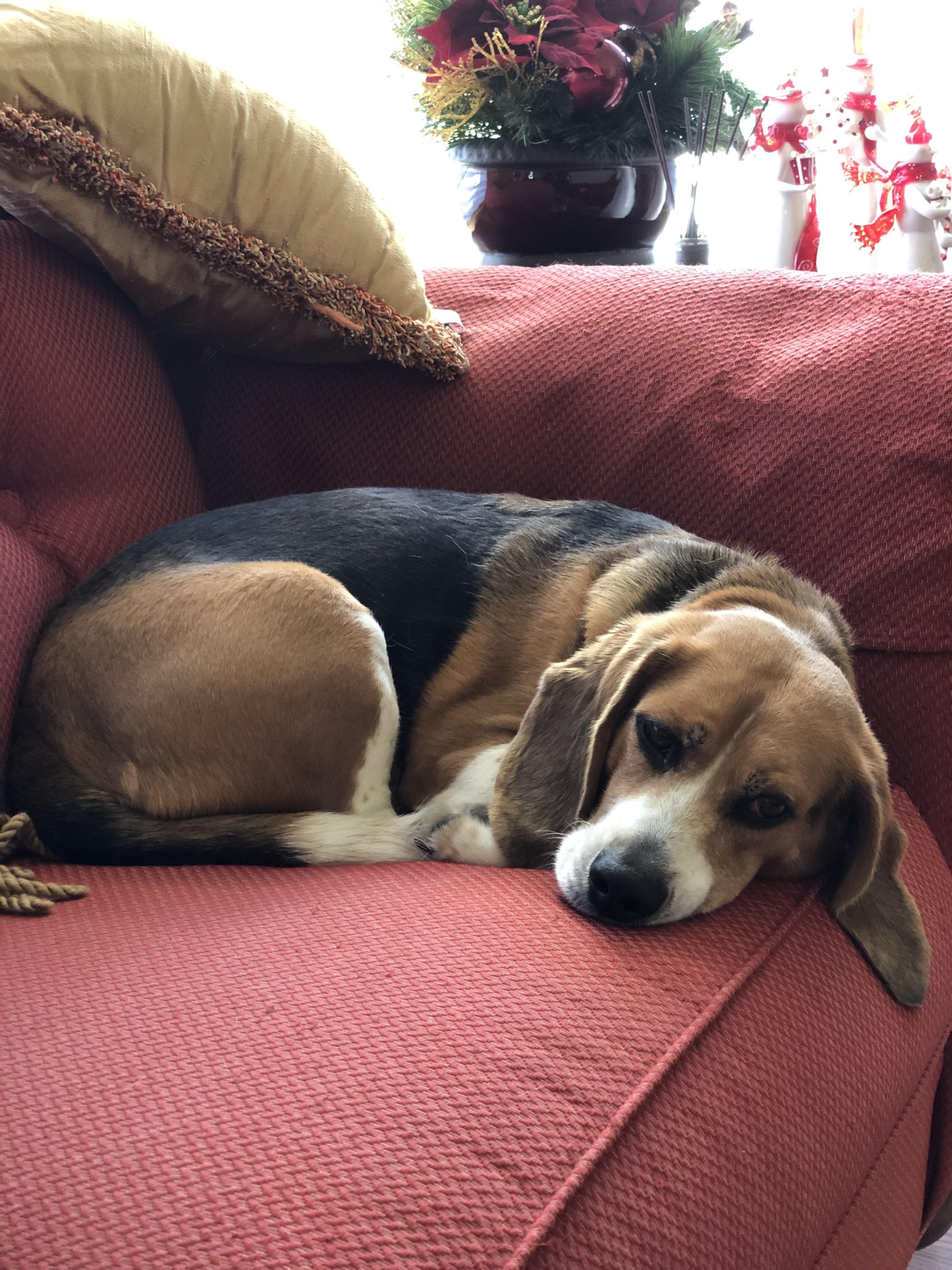 Waiting For Christmas Presents Http Bit Ly 2lxga7i Beagle
