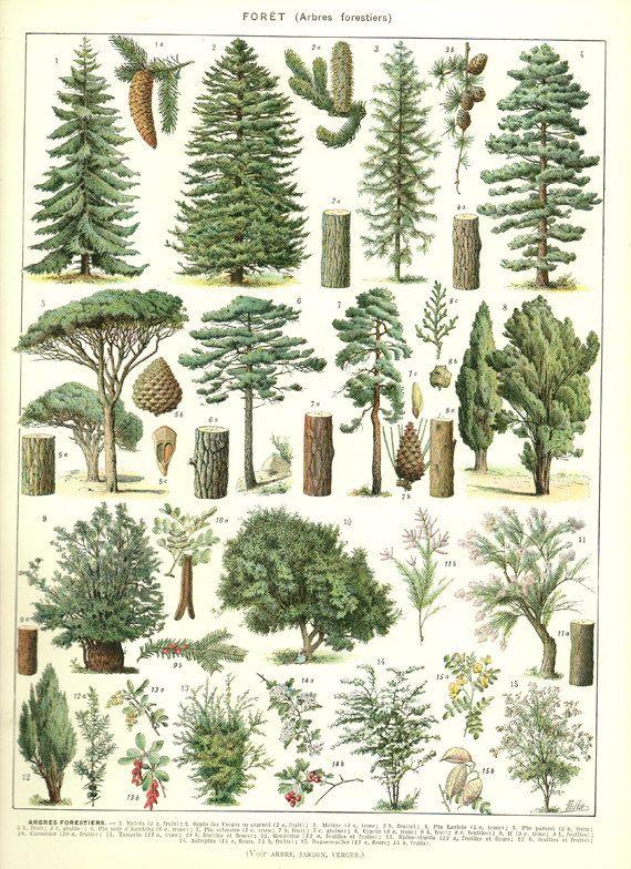 Tree Poster 1936 Vintage Botanical Poster Botanical Art Pine Tree