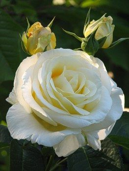 Rosa Chopin Plants Rose Flowers