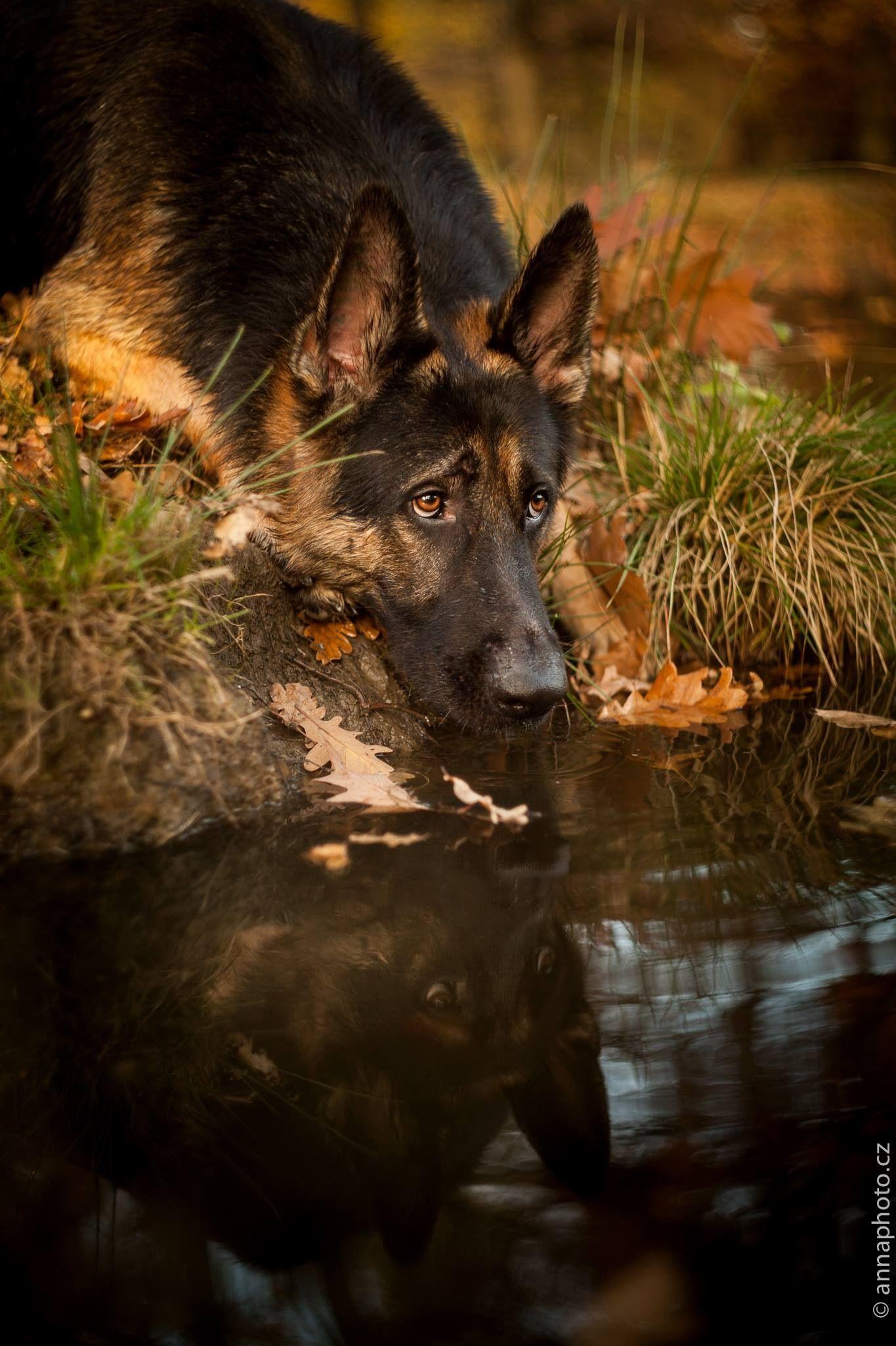 Reflection of a German Shepherd Dog. | German Shepherd ...