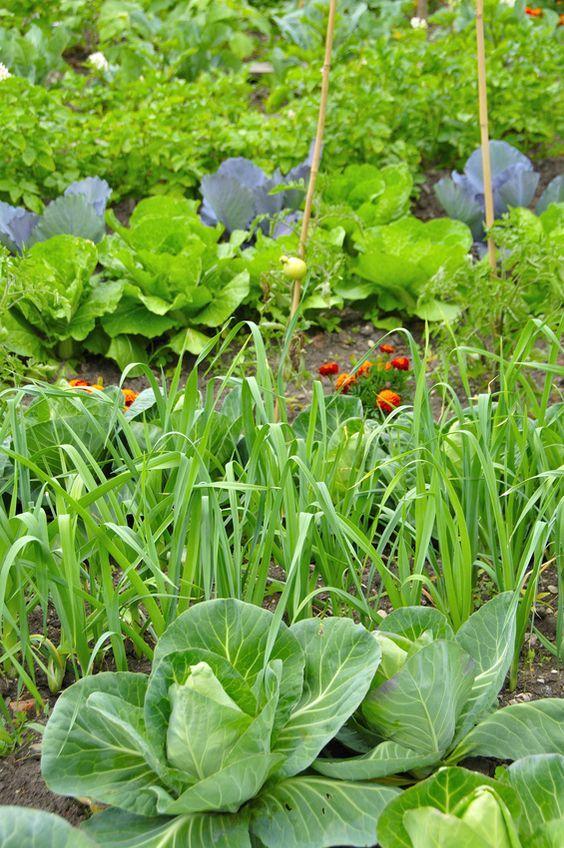 les bonnes associations de plantes pour le jardin potager. Black Bedroom Furniture Sets. Home Design Ideas