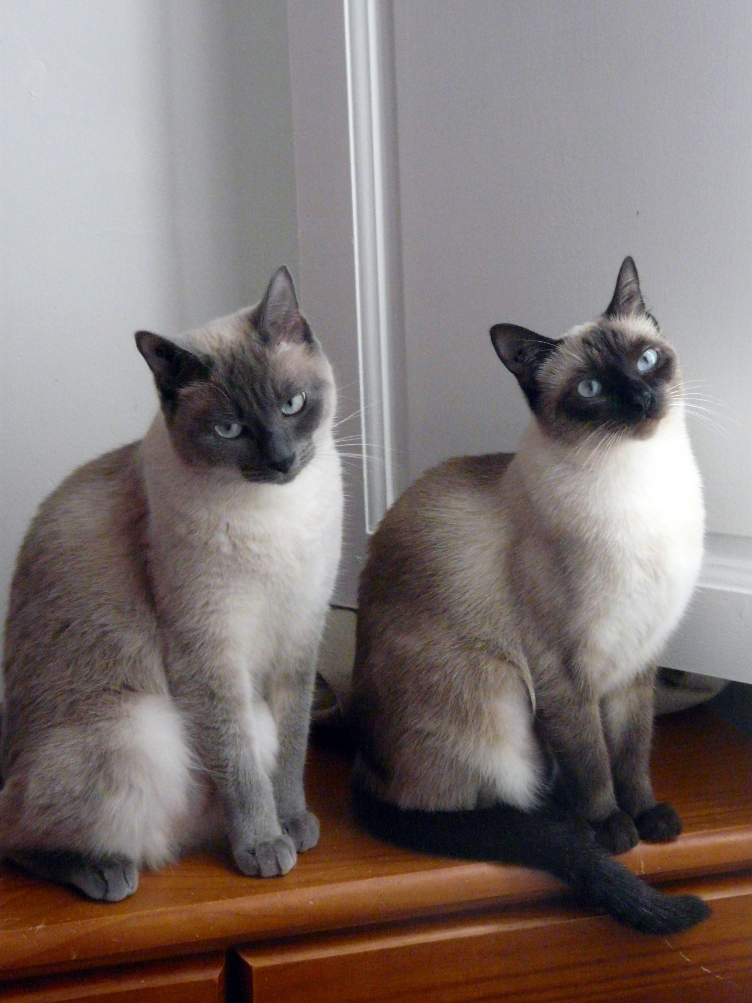Siamese Kittens So Pretty I Love The Siamese So Elegant But So Much Attitude Siamese Cats Siamese Kittens Pretty Cats