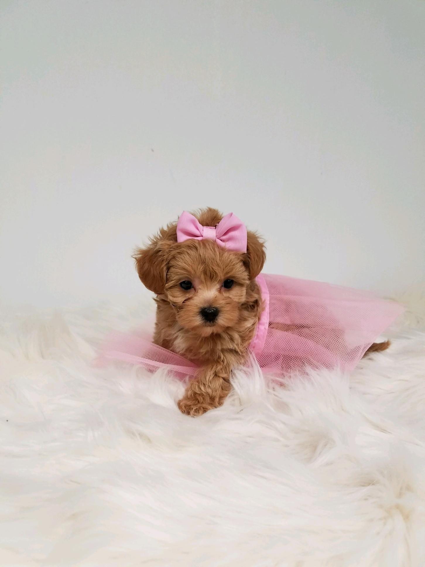 Maltipoo Puppy Maltipoo Puppy Dog Adoption Cute Puppies