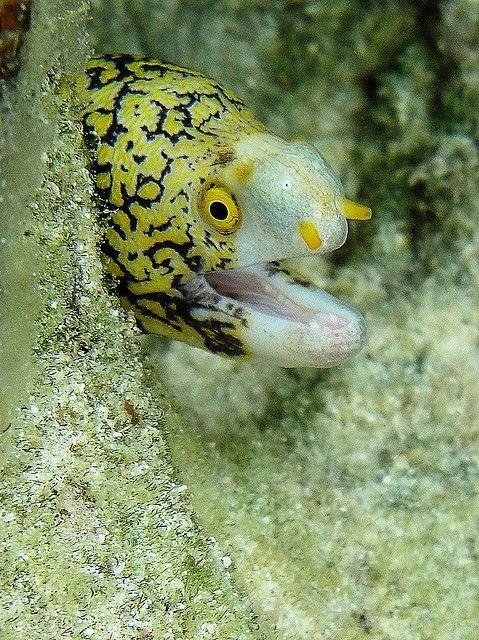 Snowflake Eel Saltwater Fish Corals Aquariums Snowflakes Fish