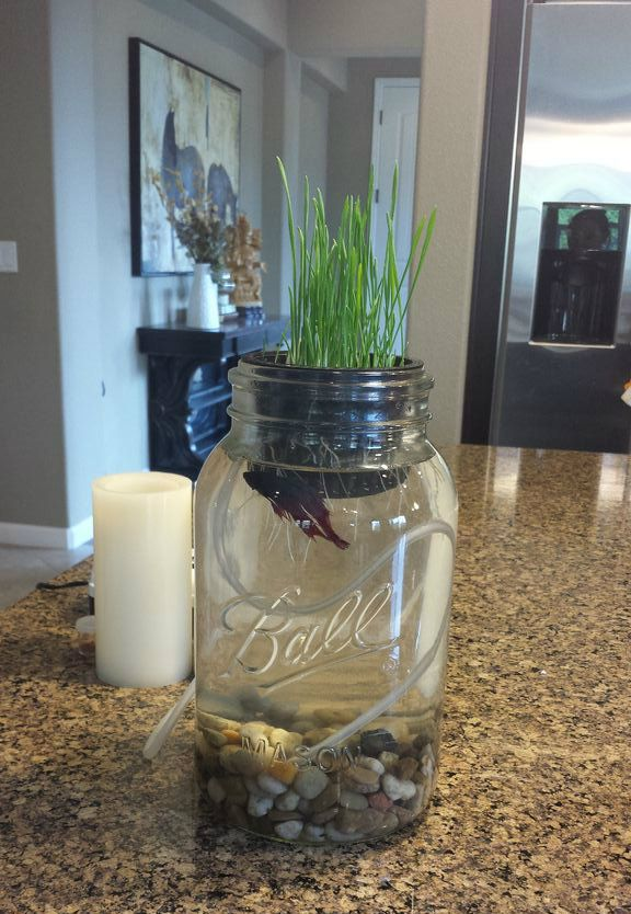 Do It Yourself Home Design: Just Keep Swimming Aquaponic- Grow Wheat Grass