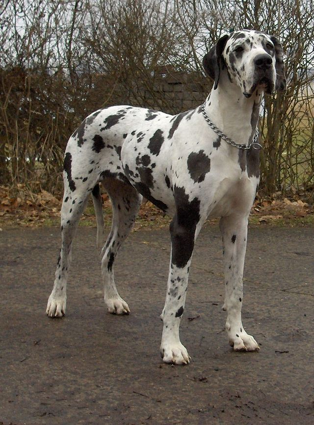 PETS WITH PERSONALITY *DUKE* THE GREAT DANE DOG NEW