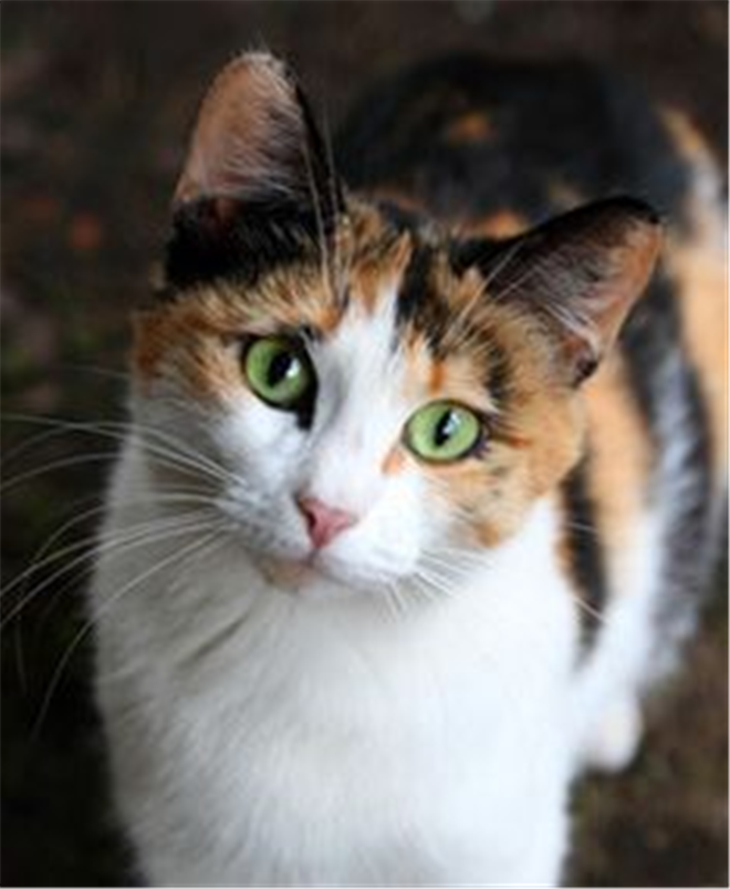 35 Popular Calico cat Photos That You Will Love | Pretty cats ...