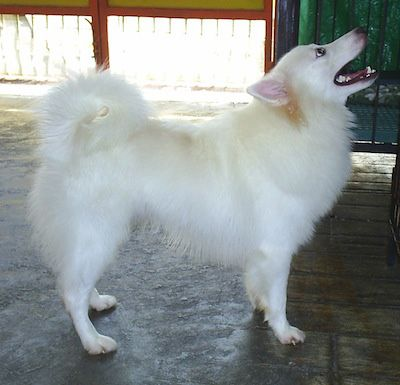 Japanese Spitz Information And Pictures Japanese Spitzes Dog Breeds Japanese Spitz American Eskimo Dog
