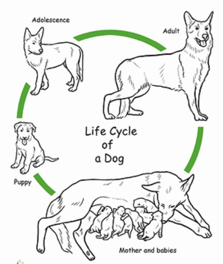 Dog Life Cycle Coloring Pages Animal Life Cycles Life Cycles