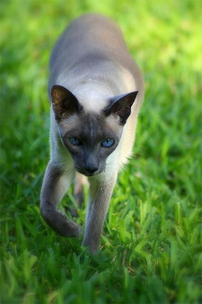 The Siamese Cat Siamese Cats Cats Pretty Cats