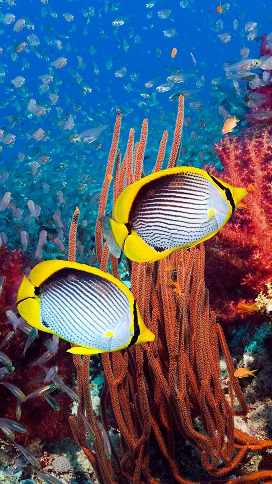 butterflyfish undersea iphone 6 wallpapers HD