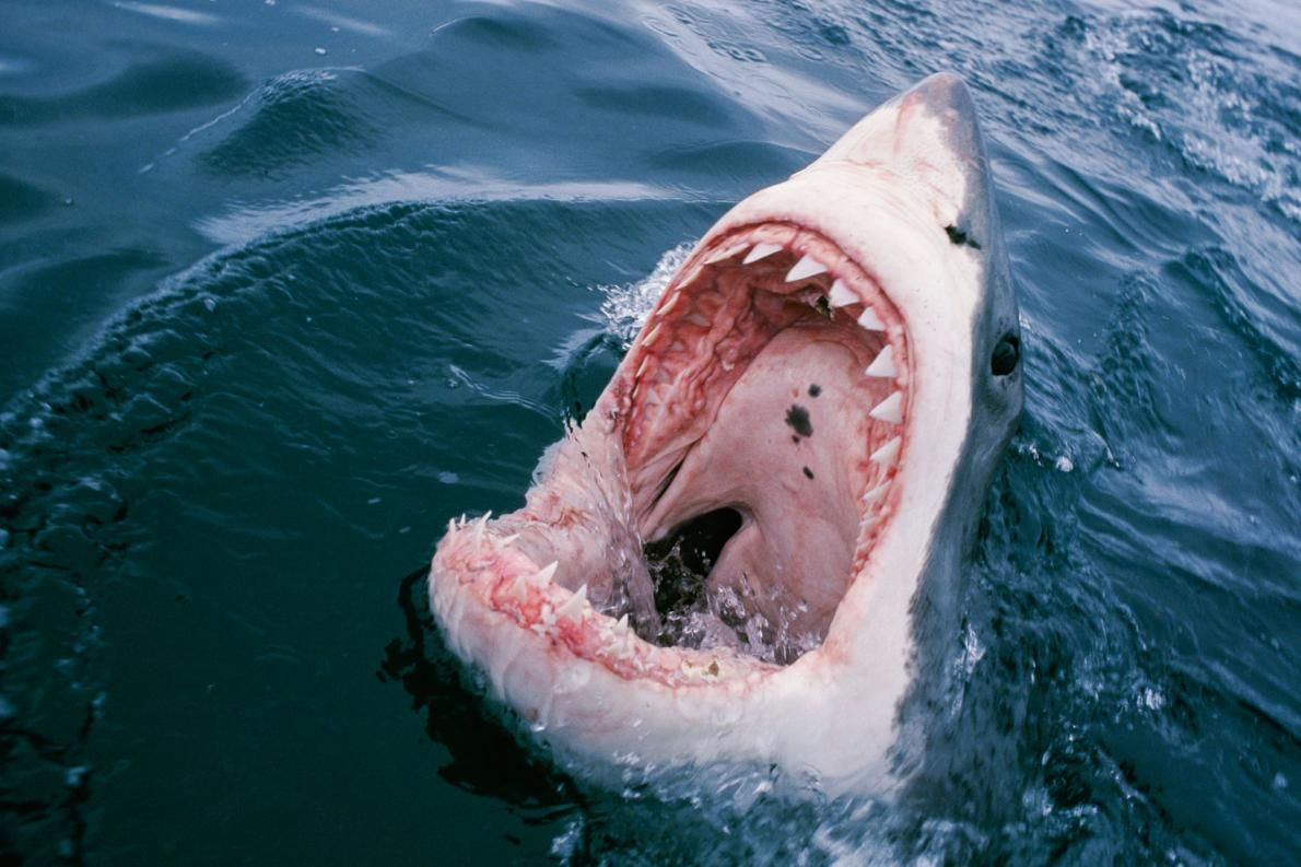 Shark Attack Risk Is Down Sharply Since 1950.  New study highlights real factors behind rise in reported attacks and offers safety tips.