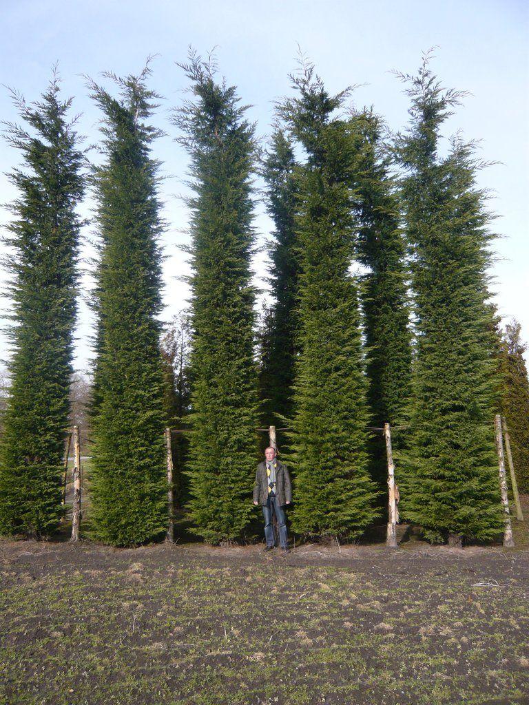 Verschiedene Zypressen In Der Grosse Vom 300 800cm Grosse