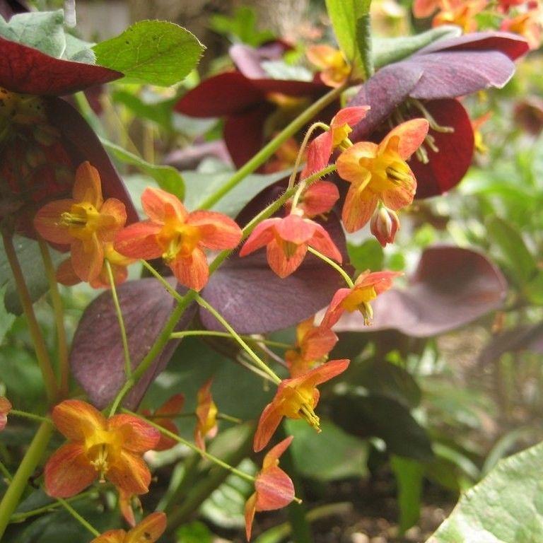 Epimedium Warleyense Fleur Des Elfes Couvre Sol Vivace A Fleurs