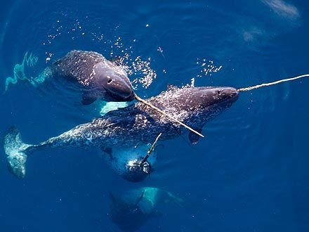 The Water Bowl Narwhals To Be Tracked By Satellite Ocean Creatures Narwhal Ocean Mammal