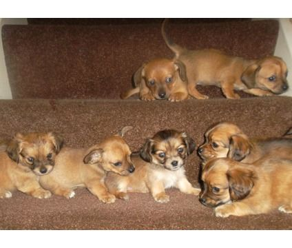 A Chiweenie Aka Mexican Hotdog Miniature Dachshund X Chihuahua Pup I Want One Chiweenie Dog Lovers Dogs