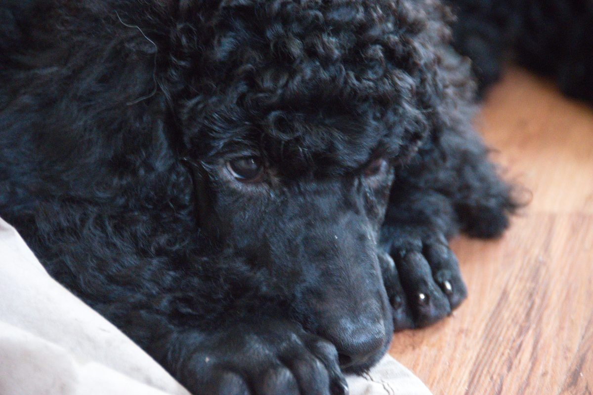 Poodle For Sale In Clearwater Florida Poodle Poodlepuppy