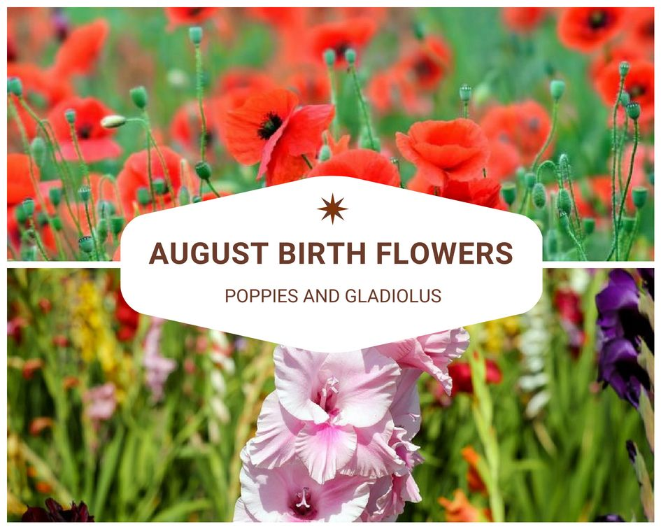 August's birth flowers are the gladiolus and poppy. The