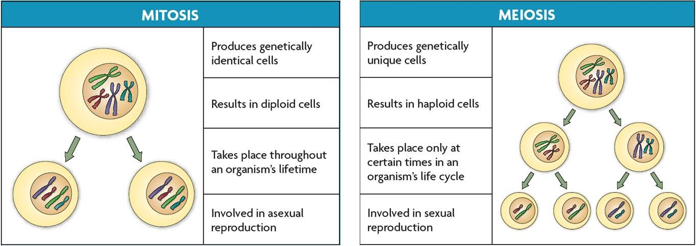 Image Result For Meiosis And Mitosis Meiosis Mitosis Mitosis Meiosis