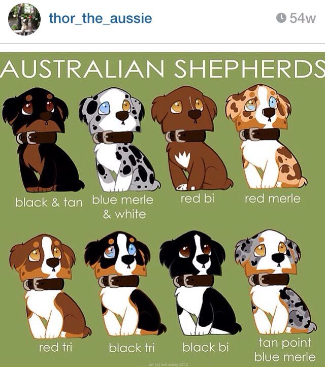 Australian Shepard Coat Color Guide Australian Shepherd Colors
