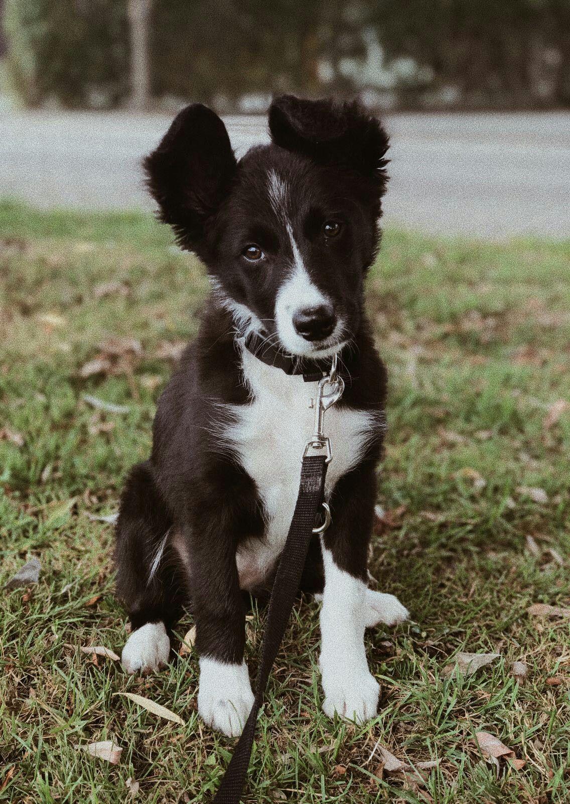 Border Collie Pup Gini 12 Weken