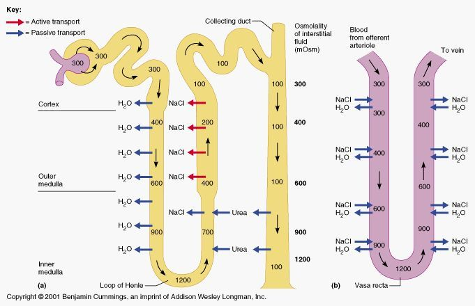nephron diagram unlabeled - google search