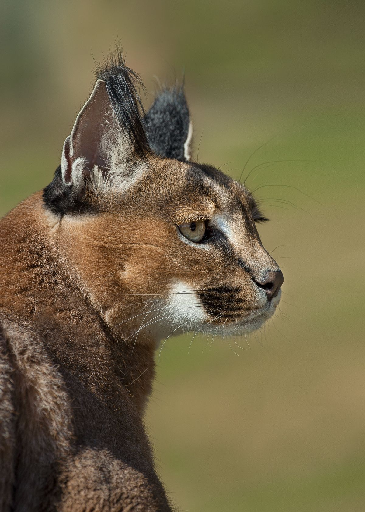 The most noticeable feature of a caracal is its black ear