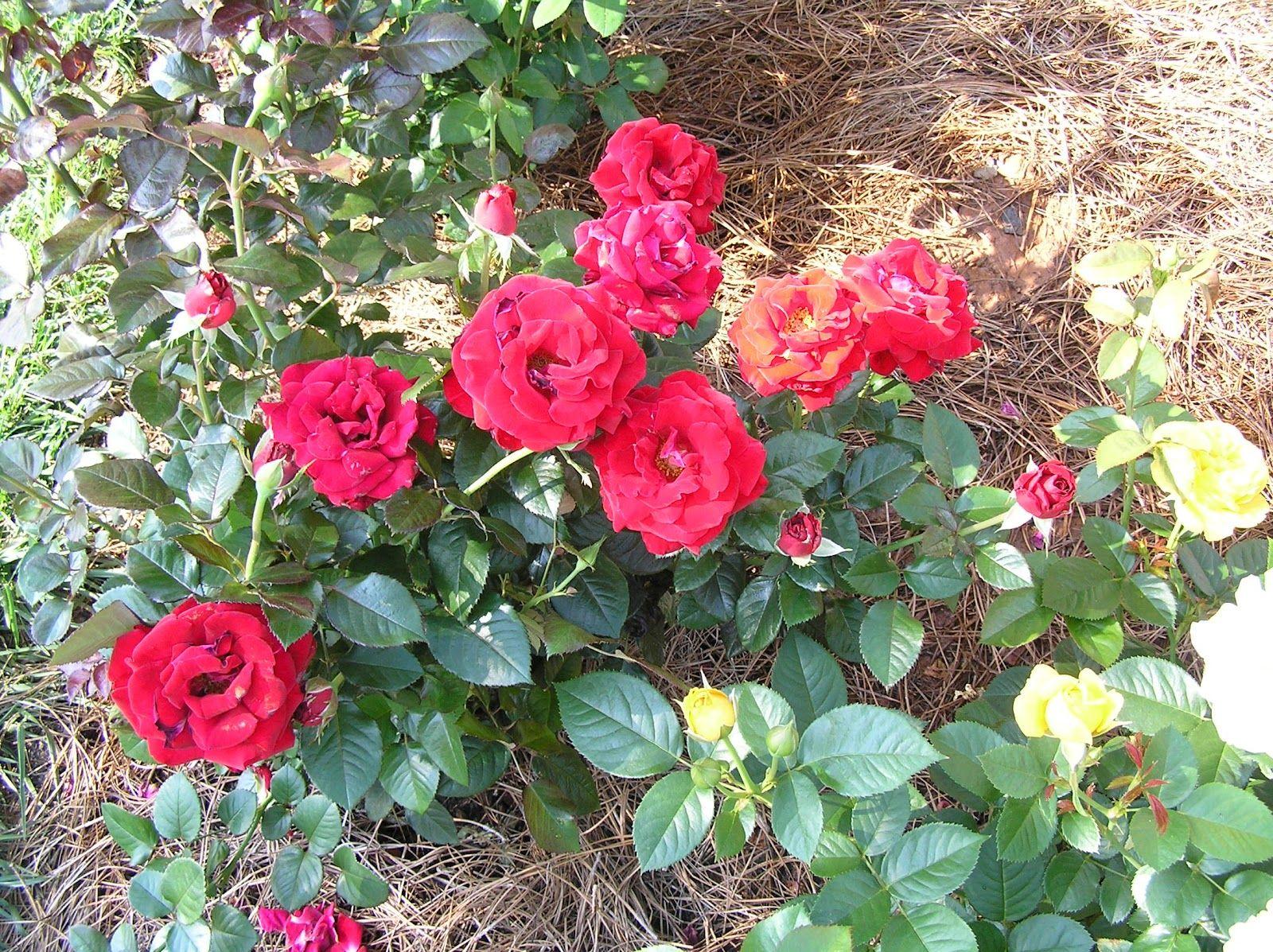 Hybrid Rose Bushes Floribunda Rose Drop Dead Red Rose Bush