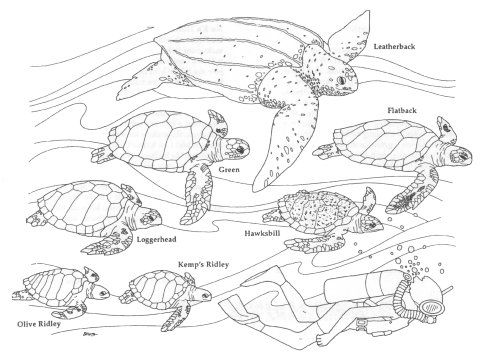 Sea turtles coloring page | coloring pages | Pinterest | Dibujo