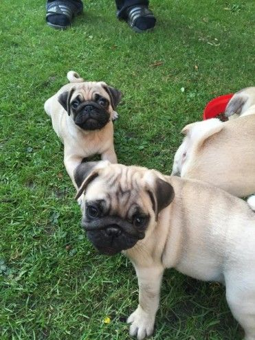 Beautiful Pug Puppies For Sale Preston Lancashire Pets4homes