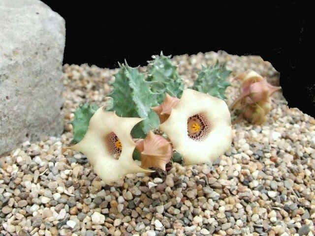 Heurnia Blyderiverensis