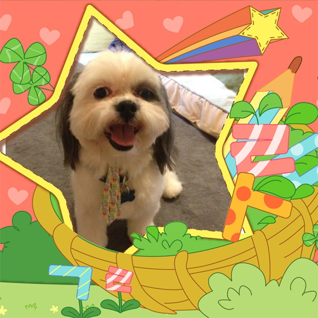 81312 shih tzu dogs animals