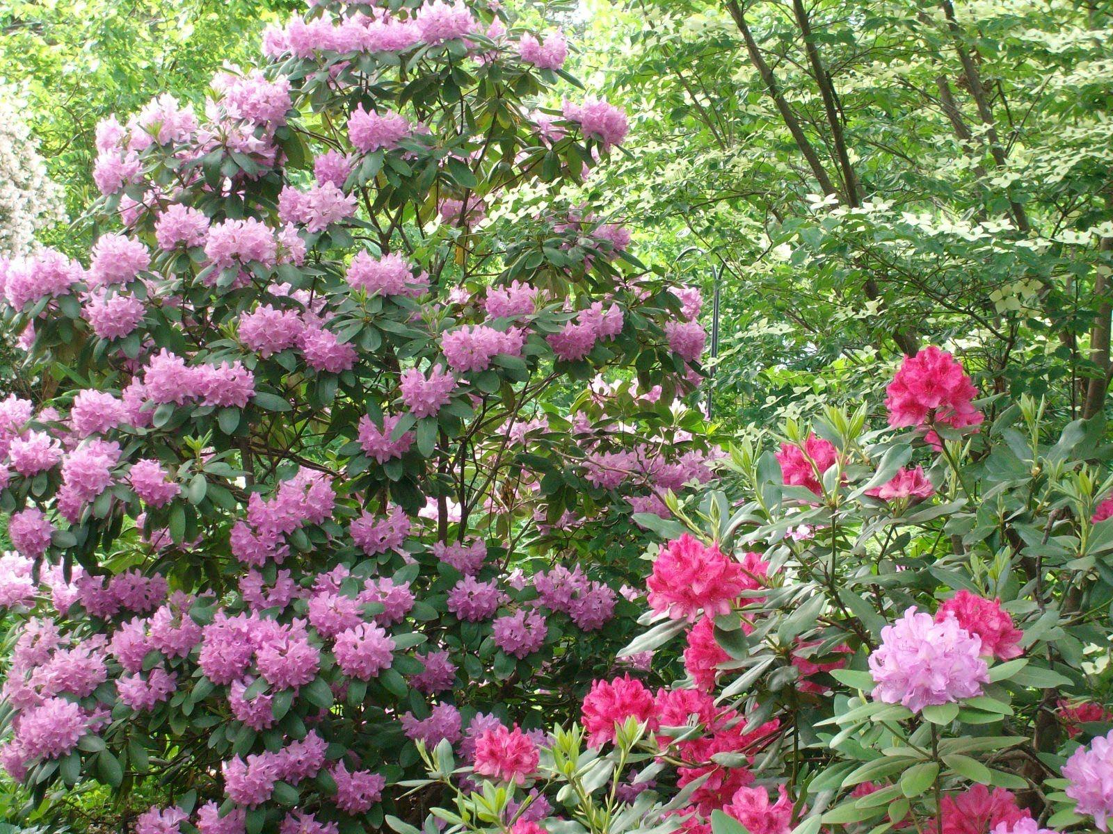 image result for roseum elegans rhododendron shrubs. Black Bedroom Furniture Sets. Home Design Ideas
