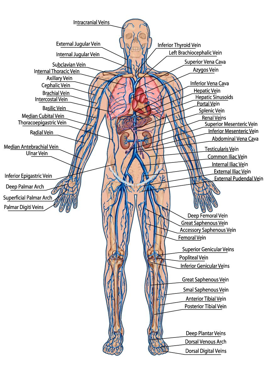 hight resolution of human veins diagram click through for the full circulatory system study guide