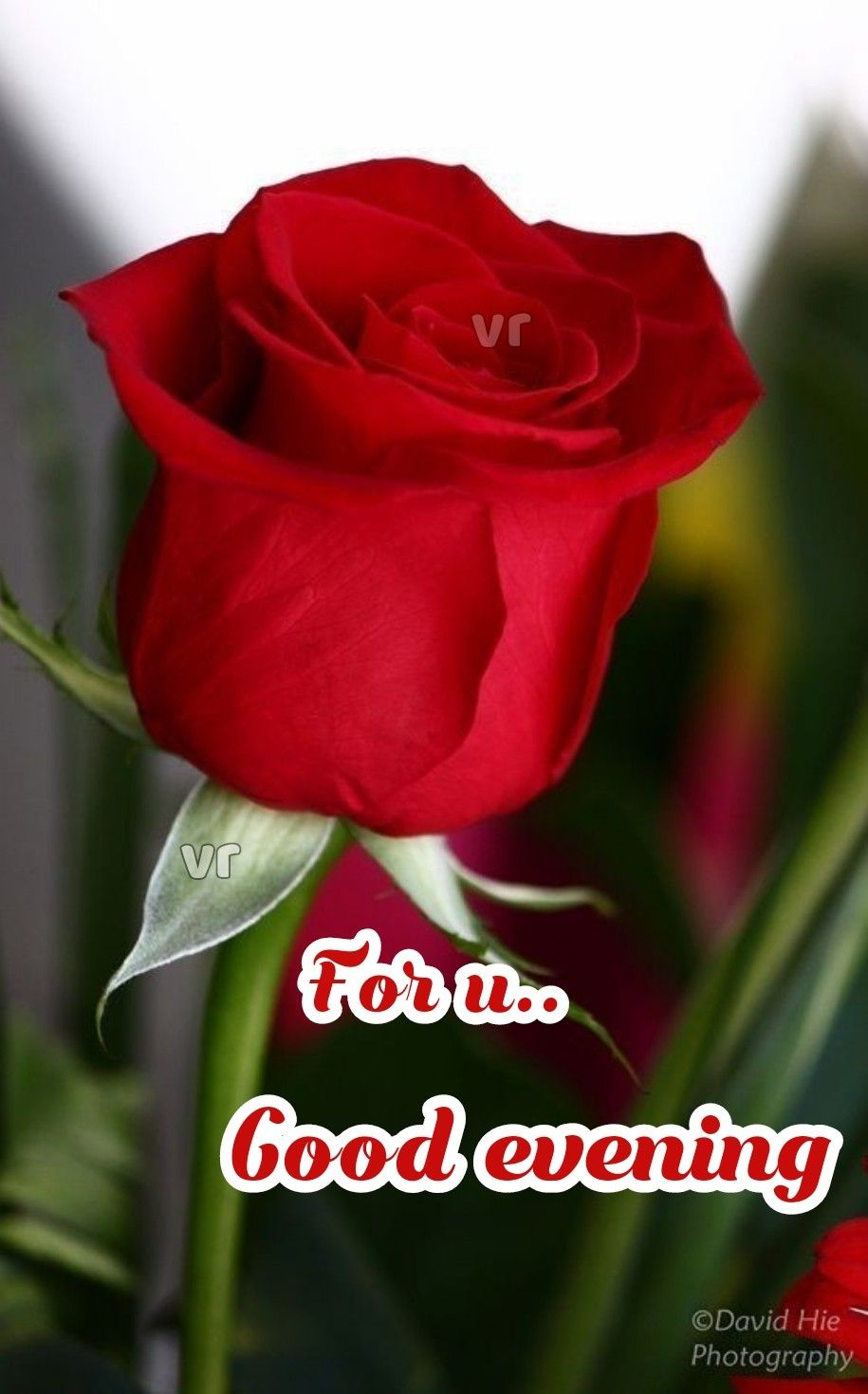 Pin By Brown On My Own Creative Beautiful Rose Flowers Beautiful Red Roses Rose Buds