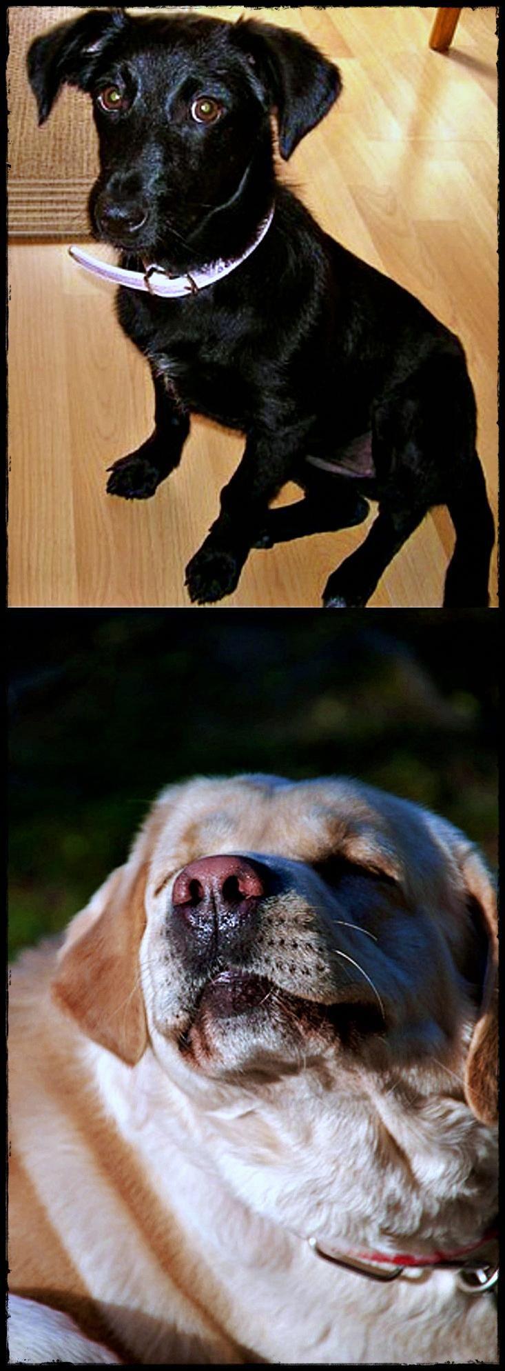 Labrador Average Age The Best Labradoreggmouth