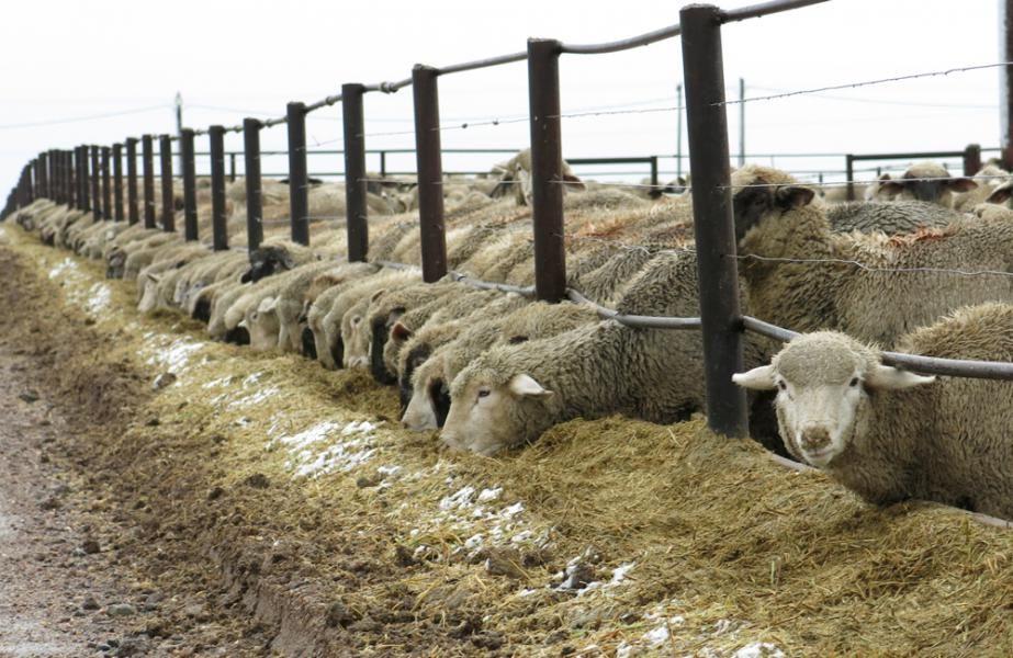 Feeder Cattle Evcil Hayvanlar Hayvanlar
