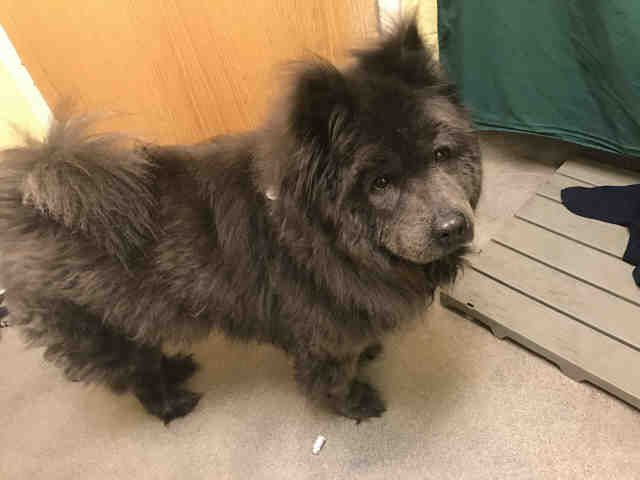 Chow Chow Dog For Adoption In Forestville Md Adn 516691 On