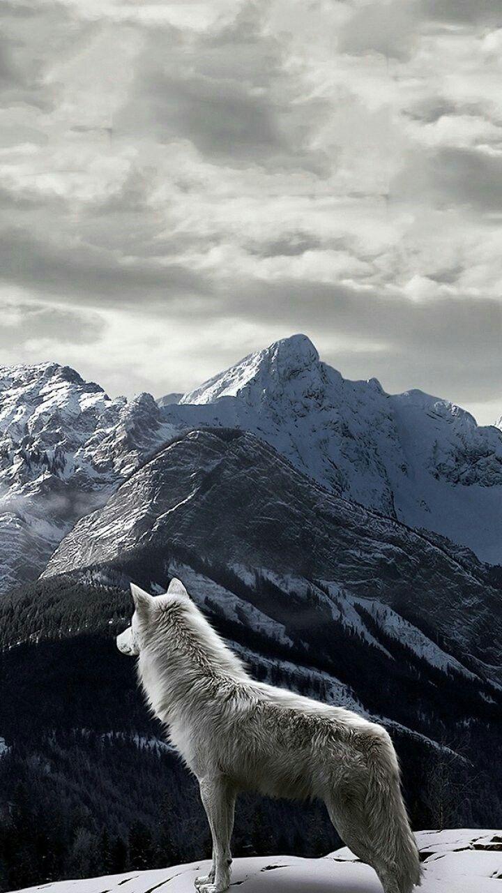 Wolf on the mountain Wolf wallpaper, Wolf dog, Wolf spirit