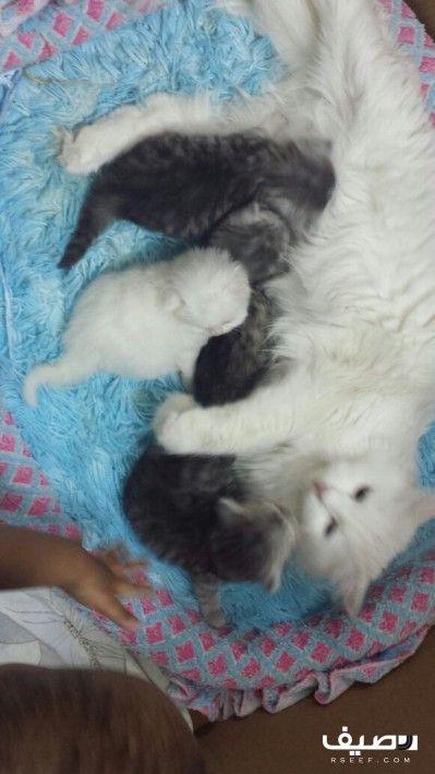 قطط مواليد شيرازيه فرصه لمحبين القطط جميلة جدا Laundry Clothes Animals Laundry Organization