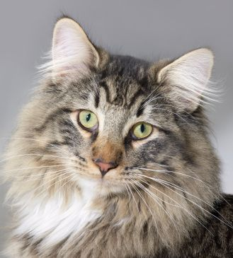 Norwegian Forest Cats looks like Tanq!
