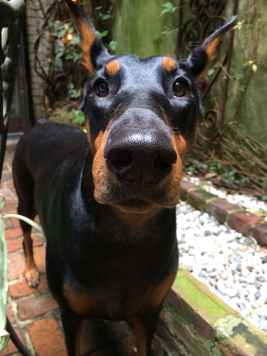 #Doberman face | Crazy about #Dobermans | Pinterest