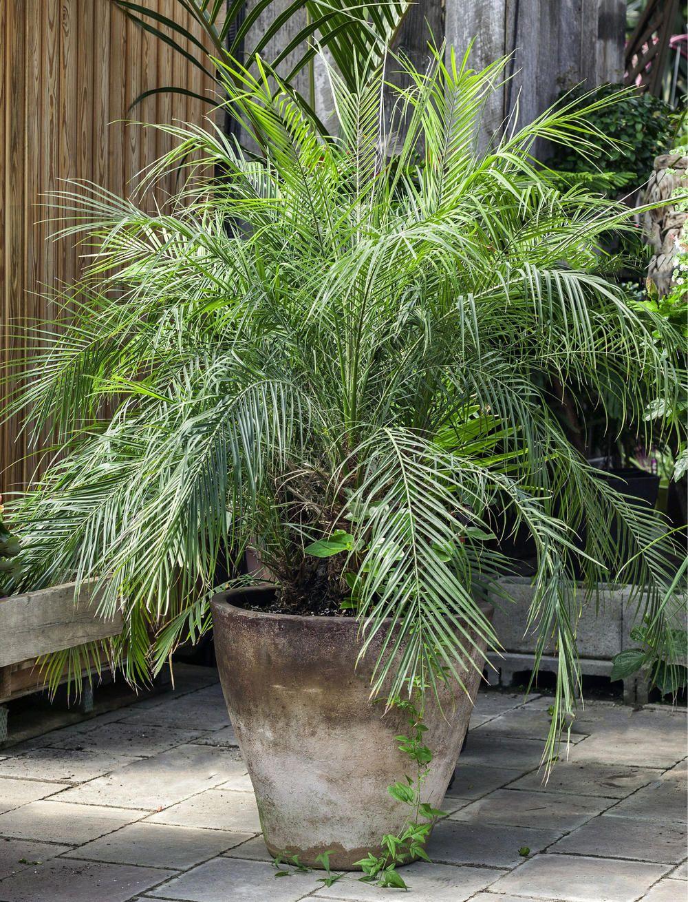 Kanarische Dattelpalme Beliebte Kubelpflanze Kubelpflanzen Pflanzen Topfgarten