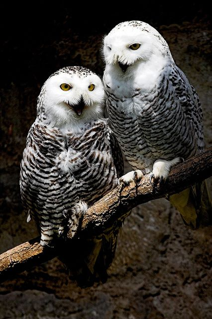 Two snowy owls at the falconry on the castle Greifenstein in Bad Blankenburg, Thuringia, Germany.